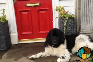 Newfoundland Advertisement UK Pets