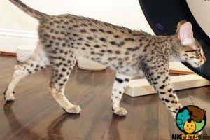 Savannah Cats Breed