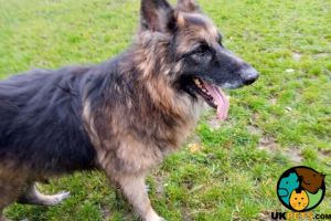 German Shepherd Online Listings