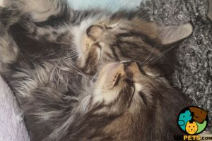 Maine Coon For Sale