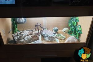 Lizard for Rehoming