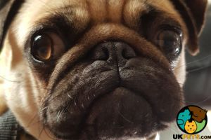Pug For Adoption in Lodon