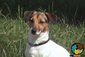 Jack Russell Wanted in Great Britain
