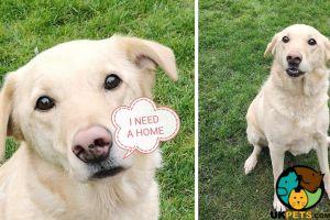 Labrador Retriever Online Listings