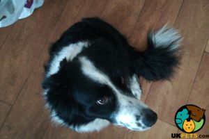 Border Collie Dogs Breed