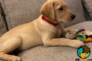 Labrador Retriever Advertisement UK Pets