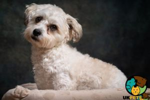 Cavachon Wanted in Lodon