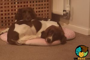 English Springer Spaniel for Rehoming