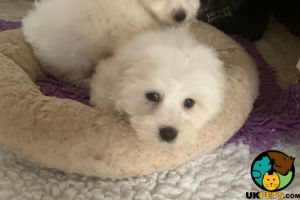 Coton De Tulears for Rehoming
