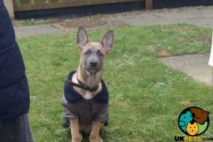 Belgian Shepherd Dog For Adoption in Lodon