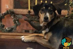 Bernese Mountain Dog Online Listings
