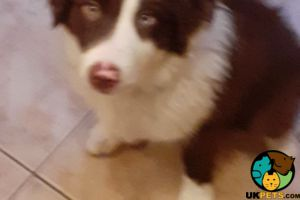 Border Collies for Rehoming