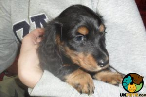 Dachshund for Rehoming