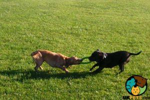 Cute English Bull Terrier Wanted
