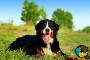 Bernese Mountain Dog Wanted in Great Britain