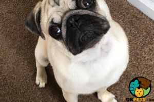 Pug Dogs Breed