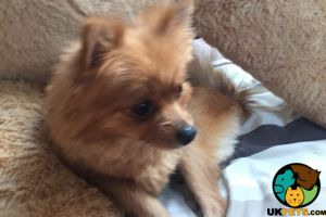 Pomeranian For Sale in Lodon