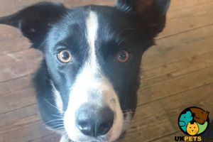 Border Collie Advertisement UK Pets