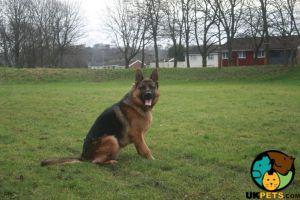 German Shepherd For Stud in Lodon