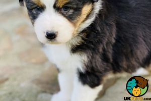 Australian Shepherds for Rehoming