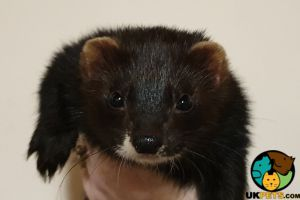 Ferrets for Rehoming