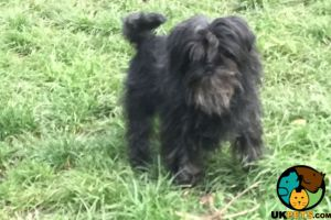 Affenpinscher Online Listings