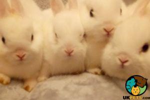 Netherland Dwarf Rodents Breed