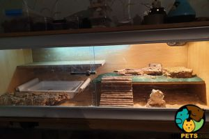 Bearded Dragons for Rehoming
