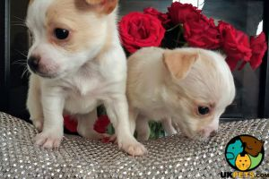 Chihuahuas for Rehoming