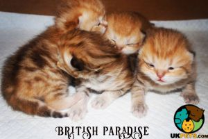 Cute British Shorthair For Sale