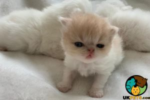 Persians For Sale