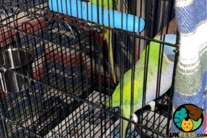 Parrot For Sale in Great Britain