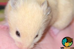 Hamsters for Rehoming