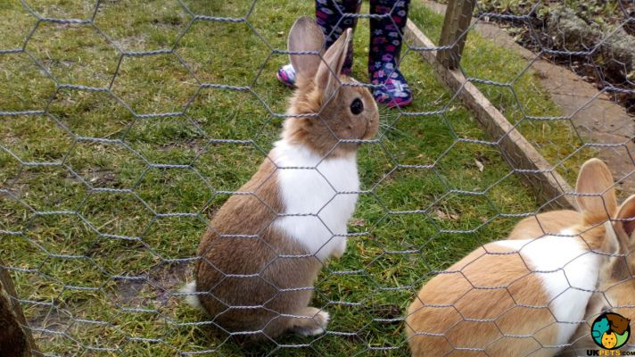 4 Dutch Baby Rabbits   231560   UK Pets