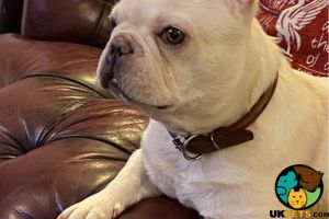 French Bulldog For Adoption in Great Britain