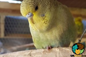 Budgerigar Advertisement UK Pets