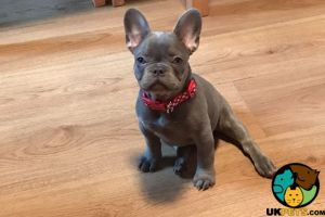 French Bulldogs for Rehoming