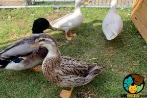 Duck Online Listings