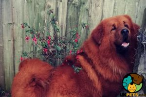Tibetan Mastiff Dogs Breed
