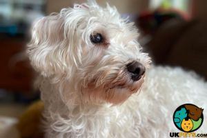 Schnoodle Dogs Breed