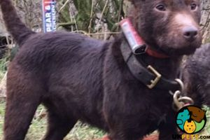 Available Patterdale Terriers