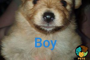Pomeranian For Sale in Great Britain