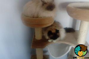 Ragdoll For Adoption in Lodon