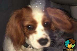 Cavalier King Charles Spaniel For Sale in Lodon