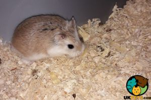 Hamster Online Ad