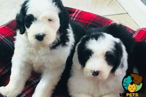 Old English Sheepdog For Sale
