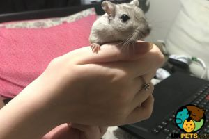 Available Gerbils