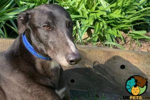 Greyhound Dogs Breed