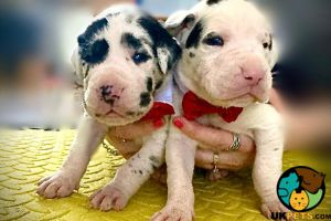 Available Great Danes