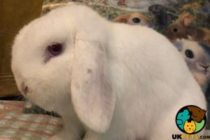 Mini Lop Advertisement UK Pets